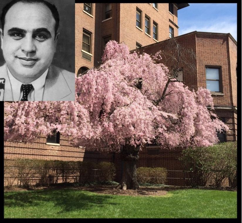 Al Capone tree